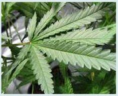 We komen steeds meer te weten over de heilzame en beschermende werking van medicinale cannabis en cannabisolie, onder meer bij kanker en perifere neuropathischeen chronische pijn. Redox Biology me…