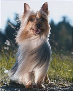 The Silky Terrier was first bred in the century as a cross between the Australian and Yorkshire Terriers. Australian Dog Breeds, Australian Terrier, Yorshire Terrier, Silky Terrier, Terrier Puppies, Cute Puppies, Cute Dogs, Pet Psychic, Yorkshire Terrier Dog