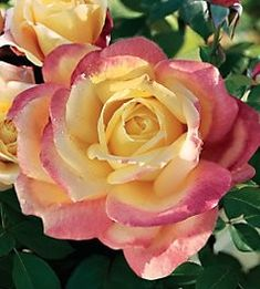 Rose Garden 'Bella'roma' hybrid tea, long, sturdy stems perfect for cutting, a powerful antique rose fragrance. Green Rose, Yellow Roses, Pink Roses, Love Rose, Pretty Flowers, Exotic Flowers, Purple Flowers, White Flowers, Ronsard Rose