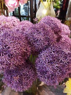 #alliumflower #purple #allium Allium, Magnolia, Cabbage, Vegetables, Purple, Flowers, Magnolias, Cabbages, Vegetable Recipes