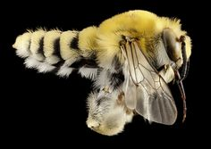 habropoda excellens, m, ut, side_2014-10-11-21.02.00 ZS PMax | Flickr - Photo Sharing!