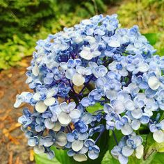 My Father's World: Blue My Father's World, Photo A Day, Hydrangea, Nature, Flowers, Blue, Naturaleza, Hydrangeas, Nature Illustration