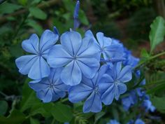 This photo from Queensland, East is titled 'Beautiful Blue Plumbago flowers'. Beautiful Flowers, Blue Flowers, Plants, Planting Flowers, Garden Hedges, Flowers, Blue Plumbago, Blue Flowers Images, Blue Garden