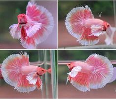 how to take care of betta fish - Expert Aquariums Betta Aquarium, Koi Betta, Tropical Fish Aquarium, Betta Fish Tank, Halfmoon Betta, Fish Tanks, Goldfish Aquarium, Fish Fish, Pretty Fish