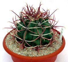 Item details Ferocactus emoryi 10-11 cm