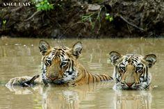 Tigers having a swim