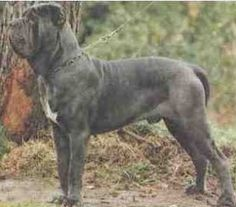 """The breed is commonly referred to as the """"Mastiff"""". Also known as the English Mastiff this giant dog breed gets known for its splendid, good nature. Mastiff Breeds, Mastiff Puppies, Dogs And Puppies, Giant Dog Breeds, Giant Dogs, Fierce Animals, Majestic Animals, Black Mastiff, Neapolitan Mastiffs"""