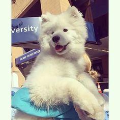 Samoyed Dog Breed Information - American Kennel Club
