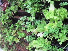 O Jardim Vertical Canguru é ótimo para ter hortas na sua casa, evitando assim, agrotóxicos e outros venenos! Vegetables, Reading, Sweet, Garden, Books, Baby Bjorn, Wall Trellis, Vegetable Gardening, Gardening