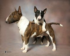 Visit the webpage to see more on lab puppies. Check the webpage for more information. See our exciting images. Chien Bull Terrier, Bull Terrier Puppy, Animals And Pets, Baby Animals, Cute Animals, Pitbull, Mini Bullterrier, Cavalier King Charles Spaniel, Miniature Bull Terrier