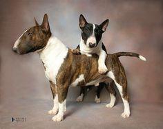 Miniature Bull Terriers.