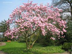 Magnolia als -meerstammige- boom, bloeit in april voor de bladvorming.