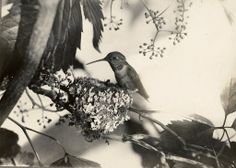 William Lovell Finley, Mother Hummingbird from 'American Birds' 1908