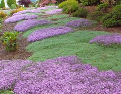 Thymus praecox - Wooly Thyme  Dusty gray foliage and pink flowers create a versatile evergreen groundcover that will cover dry slopes, fill in between rocks or spruce up hanging baskets and containers. Over watering will impair growth. Very drought tolerant.