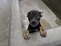 Meet 14-0011137 a Petfinder adoptable Rottweiler •PUPPY• Odessa, TX | Date available for adoption : May 14, 2014 for $51Animal Control accepts cash or check ONLY... HIGH KILL SHELTER... PLS HELP SHARE/SAVE/RESCUE THIS SWEET GIRL.