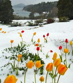 Tulips burst up out of snow!!