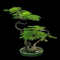 Bonsai ...looks like this could be a mimosa or similar type tree. Very interesting!.....vwr