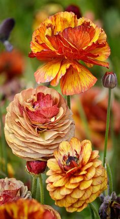 //Ranunculus #flowers