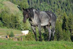 Okanogan Blue blue roan QH stallion. Promised Land Ranch Quarter Horses