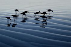 Marbled Godwit Flock by Matthew Studebaker