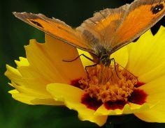 Dancing Butterfly ... :-)