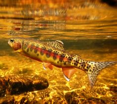 "asthmaticprince: "" The California Golden Trout (Oncorhynchus mykiss aguabonita) is a subspecies of rainbow trout and is California's state fish. This fish is threatened by competition from nonnative. Trout Fishing Tips, Fishing Guide, Fishing Lures, Fly Fishing, Fishing Photography, Underwater Photography, Salt And Water, Fresh Water, Rainbow Trout"