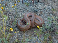 Rosy Boa Snake Mojave Desert CA - heard they were very tame and also now pretty rare (? Rosy Boa, Mojave Desert, Reptiles And Amphibians, Snakes, Deserts, Creatures, Awesome, Animals, Boas