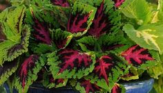Huge foliage of Coleus Kong Jr. adds unique color to shade garden beds and containers