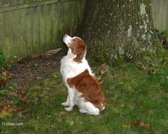 Brittany (Spaniel) Dog Wallpapers, Pictures & Breed Information