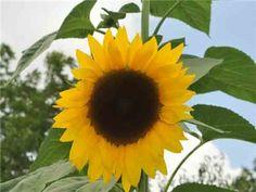 Arikara Sunflower | Baker Creek Heirloom Seed Co