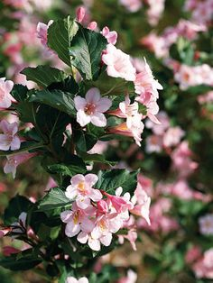 Weigela -Weigela florida 'Polka' is a vigorous shrub that grows 5 feet tall and wide and features yellow-throat, pink flowers continuously from early summer to early fall. Zones 4-7