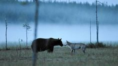 A bear meets a wolf, in Finland. (the article is in Finnish) - Huikea luontokuva - karhu ja susi kohtasivat sumuisella suolla Bear Photos, Bear Pictures, Wolf Face, Vision Quest, Woodland Animals, Animals Of The World, Beautiful Creatures, Pet Birds, Animal Kingdom