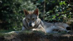 Saarloos wolfhound Saarloos, Wolfhound, Photo Reference, Kangaroo, Dogs, Animals, Baby Bjorn, Animales, Animaux