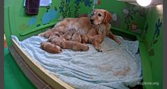 Proud Dog Moms With Their Puppies - Golden retriever who is way too cute to have just given birth to puppies - Pawsome Dog Pictures, Cute Pictures, Baby Animals, Cute Animals, Fun Quizzes, Dogs Golden Retriever, Find Pets, Guinea Pigs, Dog Mom