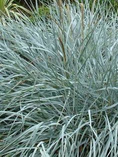 1000 images about garden green green grasses on for Green ornamental grass