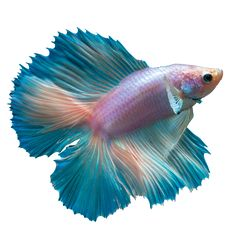 The Double Tail Betta is one of our favorites! This fish has a split tail, that when displayed makes the fish look like it has two tails. Double Tails come in a variety of colors and patterns.  The colors of our Betta fish will vary, GoBetta.com will hand select a premium Betta fish just for you!