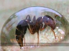 Hormigas como fluidos  Debido a su gran número y a la capacidad de adherirse a sus congéneres las hormigas se comportan en muchos casos como fluidos.   En este vídeo se puede apreciar como emulan su comportamiento de en diferentes condiciones.