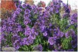 "Purple Dome Aster: Purple; Fall; H: 18"""