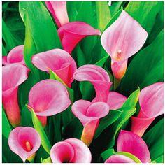 Pink Calla Lily Bulbs