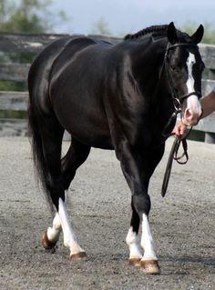 Black Stallion  Aloha 2004 Mecklenburg-Vorpommern stallion  Owned by Pikturesque Farm