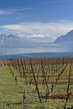 Looking east from the Lavaux vineyard toward the Rhône valley and the alps. Vaud, Switzerland.