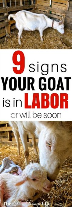 Raising Goats| Breeding Goats| Goats for Beginners| Are you playing the waiting game with your pregnant goat? Learn these 9 signs that will help you tell if your goat is in labor and will deliver soon!