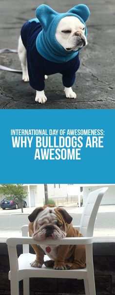 Keeo the awesomeness on our blog post!  #Bulldogs #dogs #animals #funny #pets #puppy #awesome