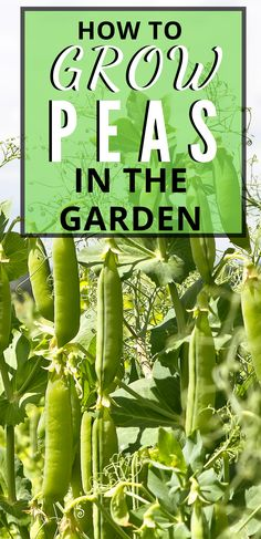 How to Grow Peas in the Garden Peas are a great spring garden crop that you can plant as soon as the soil can be worked. Growing peas in the garden is so easy! Here is everything you need to know about how to grow peas in the garden. Veg Garden, Garden Pests, Edible Garden, Vegetable Gardening, Flower Gardening, Gardening Books, Kitchen Gardening, Gardening Courses, Veggie Gardens