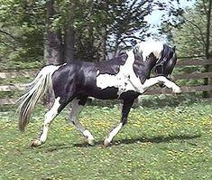 Sempatico M - German Warmblood homozygous stallion.. just doing his thing