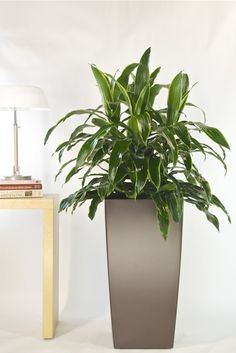 """Dracaena Deremensis """"Janet Craig Carmen"""" are very easy and long lasting plants. Beautiful dark green foliage with yellow veins on the edges. Always look better when kept dust free and shiny!  Light: Janet Craigs can withstand a lower level of light such as being far away from a window or be in a room with artificial lights only.  Water: Check every 2 weeks and water when top soil is dry to touch."""