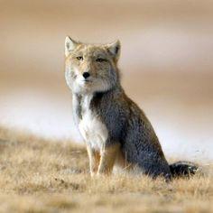 Tibetian_fox_Vulpes_ferrilata