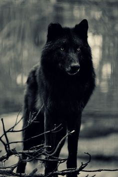 Is your inner wolf black or white?