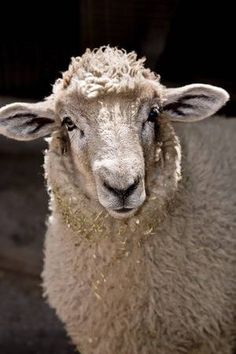 Afbeelding van this is a close up of a young lamb stockfoto, beelden en stockfotografie. Close Up, Lamb, Portraits, Animals, Image, Animales, Animaux, Head Shots, Animal