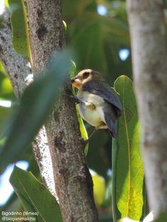 Bigodinho fêmea (Sporophila lineola) fotografado em São José do Rio Pardo, SP, em Dezembro/14. #Bigodinho #Sporophilalineola #LinedSeedeater